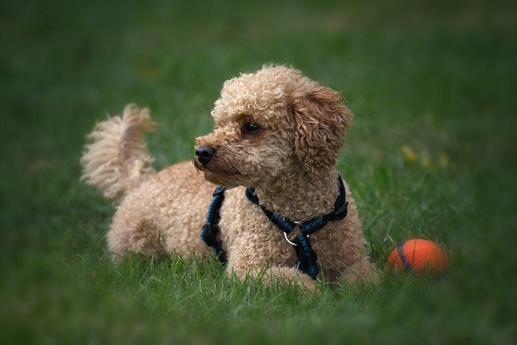 Cani, scoppia la mania per i mini dog: